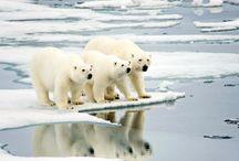 Osos Polares  peligro deshielo. / by Estamparcheros Arte y Diseño