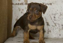 BlackChocoTan Terrier Tuur / Chocolate&Tan American Hunt Terrier