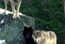 wolvesss