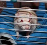 Meine Fellfreunde, die Ratten / Als Besitzer von Ratten hier ein paar interessante Pins.