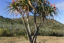 Indigenous trees of South Africa