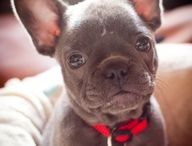 French bulldogs!x / My favourite puppies buy me one!x