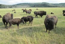 Western Wyoming / Wild Wyoming with its cowboys, horses and wide open spaces