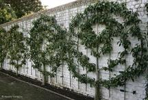 Fruit trees Espalier