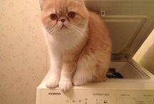 Panu-kissa  / Panu-kissa on mukana kaikissa kodin touhuissa, utelias ja sosiaalinen luonne kun on :)   Cute exotic kitty Panu helps with all the household tasks :)