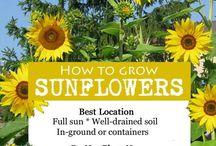 Outdoors | Sunflowers