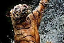 Tigertwins