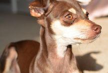 Jeka / Russian Toy Terrier