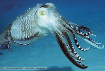cuttlefish suku