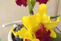 orquídeas catleia