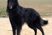 Belgian Shepherd-Groenendael
