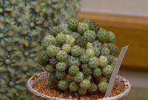 KAKTUSZOK / Szép kaktuszok, érdekes növények Beautiful cacti, interesting plants