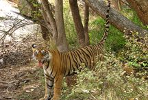 Tigers in the Wild / You will explore some of the most beautiful national parks of central India where Royal Bengal Tiger is the King. Want to see, come and travel with us.