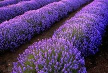 ** Smell of Lavender **
