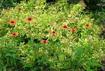 Echinacea Combinations / Plant partnerships that include purple coneflowers and other echinaceas