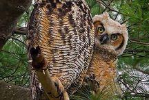 Owls yea