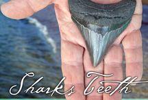 Shark Teeth Hunting