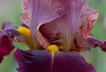 Iris marron chaud