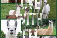 Randommmmm llamas