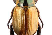 Melolontideos / Coleopteros Melolontideos