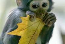 changos monos