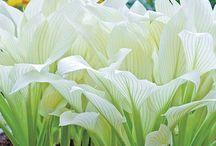 White Gardens / White Plants