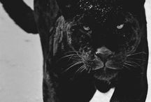 Big Cats / by Bobby Jo Wilson-Hodges