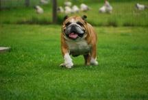 Bulldog2