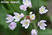 Alliums / Different species of Alliums that I grow