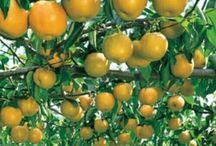 benih buah