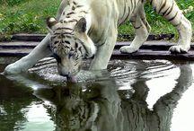 Löwen, Tiger