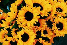 Sunflowers and sunflowers