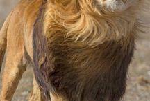 Ζώα-λιοντάρια-πούμα