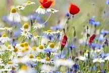Kamilla, és egyéb gyógynövények