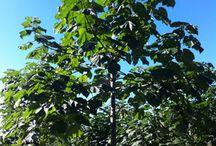 Paulownia / The fastest growing hardwood on the planet