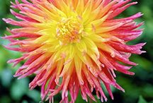 Dahlia - Cactus / Originating from Mexico and Guatemala, Dahlias were the flowers of Inca kings and despite their royal origins Dahlias are amoungst the easiest plants to grow in the garden.