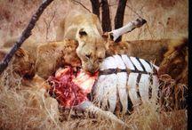 Wildlife Sightings / Some truly amazing shots taken at Kuname