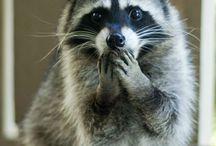 Raccoons_Tanuki