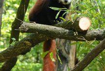 Les pandas roux..