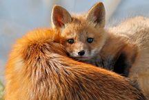 Foxes - Rókák