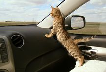 Cats in Cars