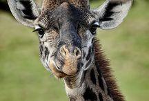 Giraffes and Elephants