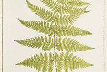 Ormbunkar❇ / Ferns