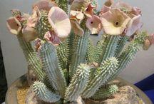 mucevher kaktus