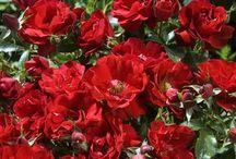 Les rosiers couvre-sol