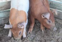 Raising Pigs / Learn all about pigs as pet and meat pigs.  Find out information such as:  raising pigs, feeding pigs, pig breeds, pig shelters and more.