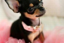 Chihuahuas / by AMBER CRAFT