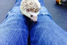 All things Hedgie