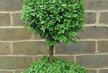 Buxus topiary / Beautifully clipped Buxus.