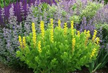 Baptisia Combinations / Plant partnerships that include false indigos (also known as wild indigos)